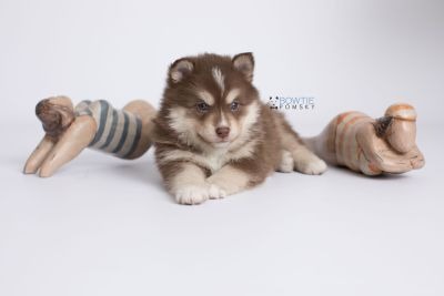 puppy134 week5 BowTiePomsky.com Bowtie Pomsky Puppy For Sale Husky Pomeranian Mini Dog Spokane WA Breeder Blue Eyes Pomskies Celebrity Puppy web-logo4