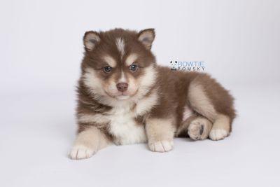puppy134 week5 BowTiePomsky.com Bowtie Pomsky Puppy For Sale Husky Pomeranian Mini Dog Spokane WA Breeder Blue Eyes Pomskies Celebrity Puppy web-logo6