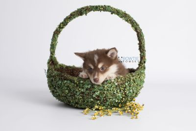 puppy134 week7 BowTiePomsky.com Bowtie Pomsky Puppy For Sale Husky Pomeranian Mini Dog Spokane WA Breeder Blue Eyes Pomskies Celebrity Puppy web4