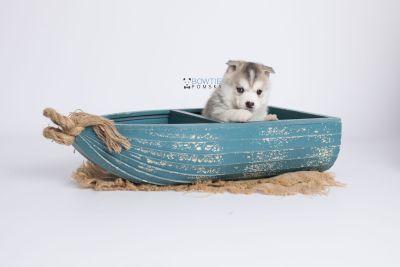 puppy135 week5 BowTiePomsky.com Bowtie Pomsky Puppy For Sale Husky Pomeranian Mini Dog Spokane WA Breeder Blue Eyes Pomskies Celebrity Puppy web-logo1