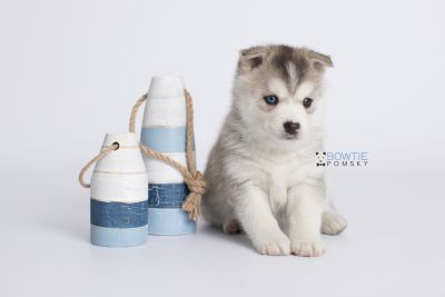 puppy135 week5 BowTiePomsky.com Bowtie Pomsky Puppy For Sale Husky Pomeranian Mini Dog Spokane WA Breeder Blue Eyes Pomskies Celebrity Puppy web-logo3