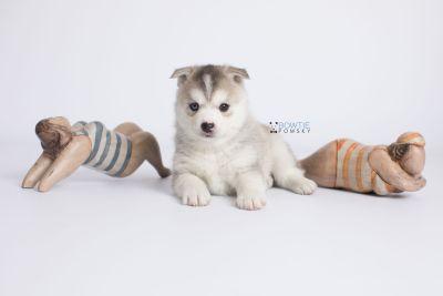 puppy135 week5 BowTiePomsky.com Bowtie Pomsky Puppy For Sale Husky Pomeranian Mini Dog Spokane WA Breeder Blue Eyes Pomskies Celebrity Puppy web-logo5