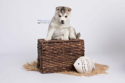 puppy135 week5 BowTiePomsky.com Bowtie Pomsky Puppy For Sale Husky Pomeranian Mini Dog Spokane WA Breeder Blue Eyes Pomskies Celebrity Puppy web-logo6