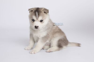 puppy135 week5 BowTiePomsky.com Bowtie Pomsky Puppy For Sale Husky Pomeranian Mini Dog Spokane WA Breeder Blue Eyes Pomskies Celebrity Puppy web-logo7