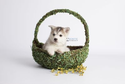 puppy135 week7 BowTiePomsky.com Bowtie Pomsky Puppy For Sale Husky Pomeranian Mini Dog Spokane WA Breeder Blue Eyes Pomskies Celebrity Puppy web5