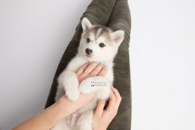 puppy135 week7 BowTiePomsky.com Bowtie Pomsky Puppy For Sale Husky Pomeranian Mini Dog Spokane WA Breeder Blue Eyes Pomskies Celebrity Puppy web7