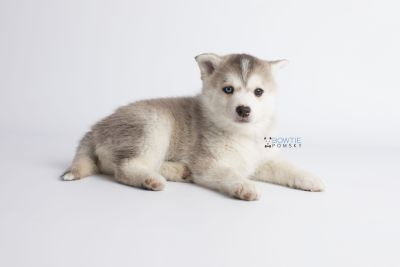 puppy135 week7 BowTiePomsky.com Bowtie Pomsky Puppy For Sale Husky Pomeranian Mini Dog Spokane WA Breeder Blue Eyes Pomskies Celebrity Puppy web9
