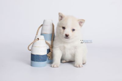 puppy136 week5 BowTiePomsky.com Bowtie Pomsky Puppy For Sale Husky Pomeranian Mini Dog Spokane WA Breeder Blue Eyes Pomskies Celebrity Puppy web-logo2