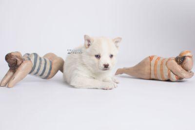 puppy136 week5 BowTiePomsky.com Bowtie Pomsky Puppy For Sale Husky Pomeranian Mini Dog Spokane WA Breeder Blue Eyes Pomskies Celebrity Puppy web-logo4