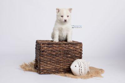 puppy136 week5 BowTiePomsky.com Bowtie Pomsky Puppy For Sale Husky Pomeranian Mini Dog Spokane WA Breeder Blue Eyes Pomskies Celebrity Puppy web-logo5