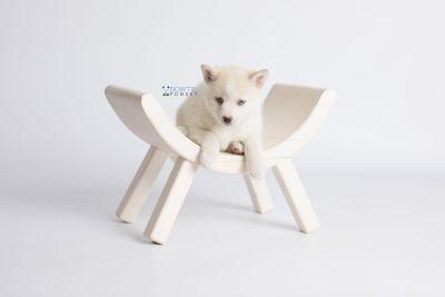 puppy136 week7 BowTiePomsky.com Bowtie Pomsky Puppy For Sale Husky Pomeranian Mini Dog Spokane WA Breeder Blue Eyes Pomskies Celebrity Puppy web1