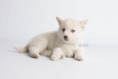 puppy136 week7 BowTiePomsky.com Bowtie Pomsky Puppy For Sale Husky Pomeranian Mini Dog Spokane WA Breeder Blue Eyes Pomskies Celebrity Puppy web8