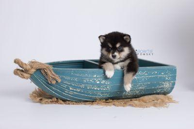 puppy137 week5 BowTiePomsky.com Bowtie Pomsky Puppy For Sale Husky Pomeranian Mini Dog Spokane WA Breeder Blue Eyes Pomskies Celebrity Puppy web-logo1