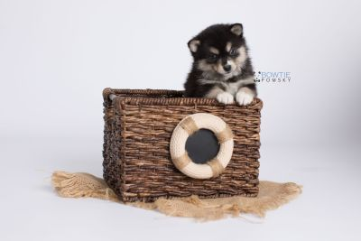 puppy137 week5 BowTiePomsky.com Bowtie Pomsky Puppy For Sale Husky Pomeranian Mini Dog Spokane WA Breeder Blue Eyes Pomskies Celebrity Puppy web-logo3