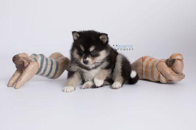 puppy137 week5 BowTiePomsky.com Bowtie Pomsky Puppy For Sale Husky Pomeranian Mini Dog Spokane WA Breeder Blue Eyes Pomskies Celebrity Puppy web-logo4