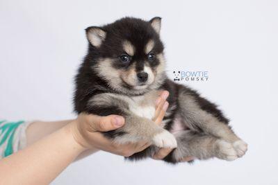 puppy137 week5 BowTiePomsky.com Bowtie Pomsky Puppy For Sale Husky Pomeranian Mini Dog Spokane WA Breeder Blue Eyes Pomskies Celebrity Puppy web-logo8