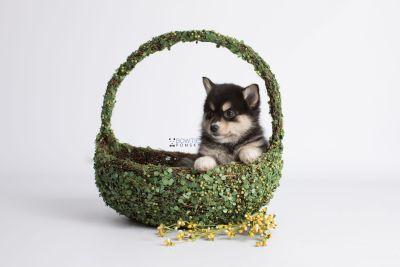 puppy137 week7 BowTiePomsky.com Bowtie Pomsky Puppy For Sale Husky Pomeranian Mini Dog Spokane WA Breeder Blue Eyes Pomskies Celebrity Puppy web5