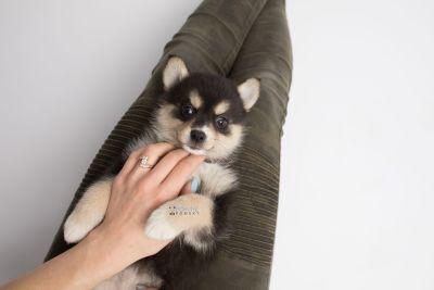 puppy137 week7 BowTiePomsky.com Bowtie Pomsky Puppy For Sale Husky Pomeranian Mini Dog Spokane WA Breeder Blue Eyes Pomskies Celebrity Puppy web7