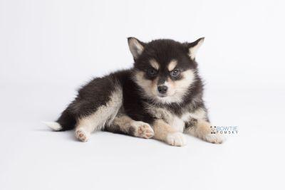puppy137 week7 BowTiePomsky.com Bowtie Pomsky Puppy For Sale Husky Pomeranian Mini Dog Spokane WA Breeder Blue Eyes Pomskies Celebrity Puppy web8