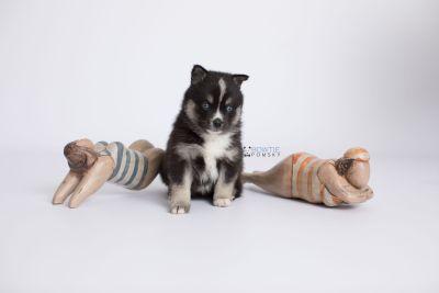 puppy138 week5 BowTiePomsky.com Bowtie Pomsky Puppy For Sale Husky Pomeranian Mini Dog Spokane WA Breeder Blue Eyes Pomskies Celebrity Puppy web-logo5