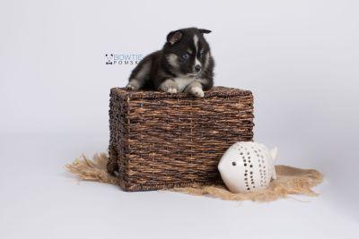 puppy138 week5 BowTiePomsky.com Bowtie Pomsky Puppy For Sale Husky Pomeranian Mini Dog Spokane WA Breeder Blue Eyes Pomskies Celebrity Puppy web-logo6
