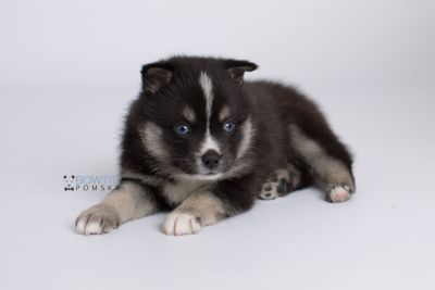 puppy138 week5 BowTiePomsky.com Bowtie Pomsky Puppy For Sale Husky Pomeranian Mini Dog Spokane WA Breeder Blue Eyes Pomskies Celebrity Puppy web-logo7