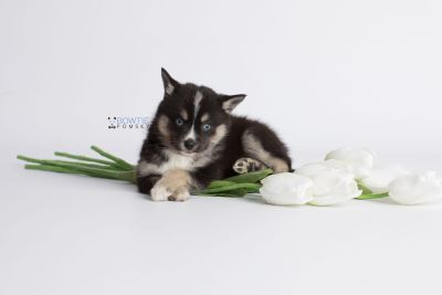 puppy138 week7 BowTiePomsky.com Bowtie Pomsky Puppy For Sale Husky Pomeranian Mini Dog Spokane WA Breeder Blue Eyes Pomskies Celebrity Puppy web4