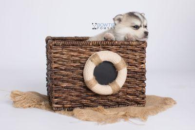 puppy139 week5 BowTiePomsky.com Bowtie Pomsky Puppy For Sale Husky Pomeranian Mini Dog Spokane WA Breeder Blue Eyes Pomskies Celebrity Puppy web-logo3