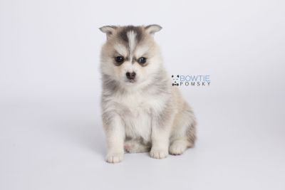 puppy139 week5 BowTiePomsky.com Bowtie Pomsky Puppy For Sale Husky Pomeranian Mini Dog Spokane WA Breeder Blue Eyes Pomskies Celebrity Puppy web-logo6