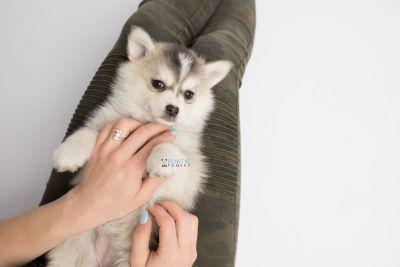 puppy139 week7 BowTiePomsky.com Bowtie Pomsky Puppy For Sale Husky Pomeranian Mini Dog Spokane WA Breeder Blue Eyes Pomskies Celebrity Puppy web7