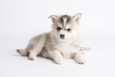 puppy139 week7 BowTiePomsky.com Bowtie Pomsky Puppy For Sale Husky Pomeranian Mini Dog Spokane WA Breeder Blue Eyes Pomskies Celebrity Puppy web8