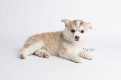 puppy140 week7 BowTiePomsky.com Bowtie Pomsky Puppy For Sale Husky Pomeranian Mini Dog Spokane WA Breeder Blue Eyes Pomskies Celebrity Puppy web12