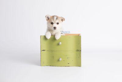 puppy140 week7 BowTiePomsky.com Bowtie Pomsky Puppy For Sale Husky Pomeranian Mini Dog Spokane WA Breeder Blue Eyes Pomskies Celebrity Puppy web2