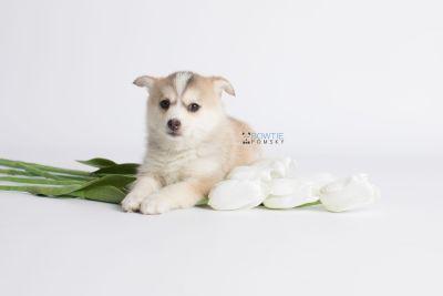 puppy140 week7 BowTiePomsky.com Bowtie Pomsky Puppy For Sale Husky Pomeranian Mini Dog Spokane WA Breeder Blue Eyes Pomskies Celebrity Puppy web3