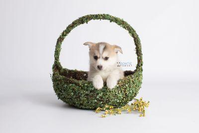 puppy140 week7 BowTiePomsky.com Bowtie Pomsky Puppy For Sale Husky Pomeranian Mini Dog Spokane WA Breeder Blue Eyes Pomskies Celebrity Puppy web5