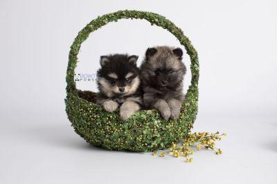 puppy141-142 week7 BowTiePomsky.com Bowtie Pomsky Puppy For Sale Husky Pomeranian Mini Dog Spokane WA Breeder Blue Eyes Pomskies Celebrity Puppy web2