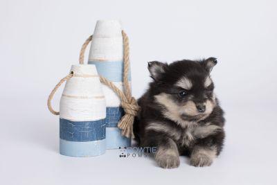puppy141 week5 BowTiePomsky.com Bowtie Pomsky Puppy For Sale Husky Pomeranian Mini Dog Spokane WA Breeder Blue Eyes Pomskies Celebrity Puppy web-logo2