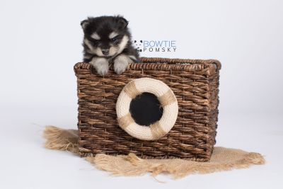puppy141 week5 BowTiePomsky.com Bowtie Pomsky Puppy For Sale Husky Pomeranian Mini Dog Spokane WA Breeder Blue Eyes Pomskies Celebrity Puppy web-logo3