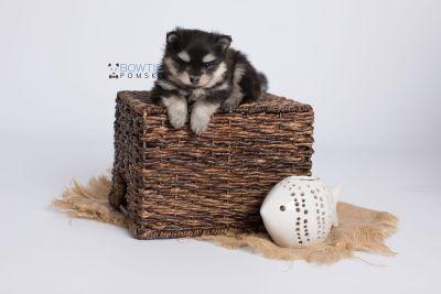 puppy141 week5 BowTiePomsky.com Bowtie Pomsky Puppy For Sale Husky Pomeranian Mini Dog Spokane WA Breeder Blue Eyes Pomskies Celebrity Puppy web-logo5