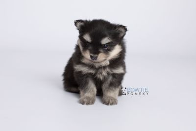 puppy141 week5 BowTiePomsky.com Bowtie Pomsky Puppy For Sale Husky Pomeranian Mini Dog Spokane WA Breeder Blue Eyes Pomskies Celebrity Puppy web-logo6