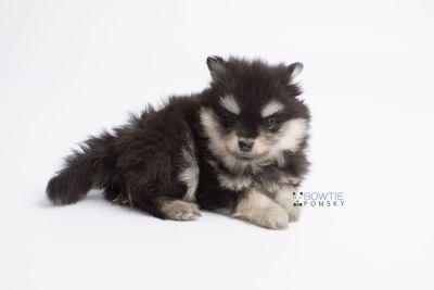 puppy141 week7 BowTiePomsky.com Bowtie Pomsky Puppy For Sale Husky Pomeranian Mini Dog Spokane WA Breeder Blue Eyes Pomskies Celebrity Puppy web10