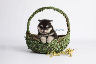 puppy141 week7 BowTiePomsky.com Bowtie Pomsky Puppy For Sale Husky Pomeranian Mini Dog Spokane WA Breeder Blue Eyes Pomskies Celebrity Puppy web5