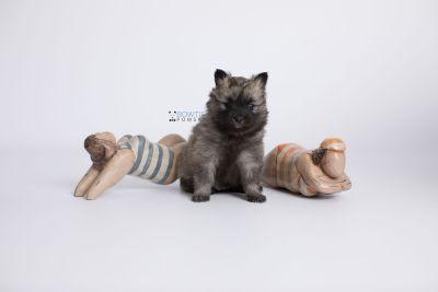 puppy142 week5 BowTiePomsky.com Bowtie Pomsky Puppy For Sale Husky Pomeranian Mini Dog Spokane WA Breeder Blue Eyes Pomskies Celebrity Puppy web-logo4