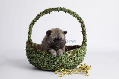 puppy142 week7 BowTiePomsky.com Bowtie Pomsky Puppy For Sale Husky Pomeranian Mini Dog Spokane WA Breeder Blue Eyes Pomskies Celebrity Puppy web4