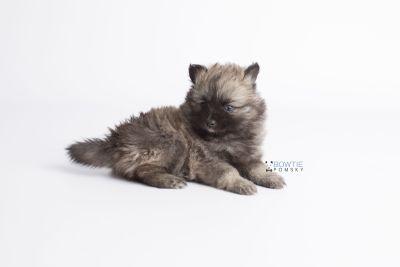 puppy142 week7 BowTiePomsky.com Bowtie Pomsky Puppy For Sale Husky Pomeranian Mini Dog Spokane WA Breeder Blue Eyes Pomskies Celebrity Puppy web9