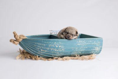 puppy143 week3 BowTiePomsky.com Bowtie Pomsky Puppy For Sale Husky Pomeranian Mini Dog Spokane WA Breeder Blue Eyes Pomskies Celebrity Puppy web1