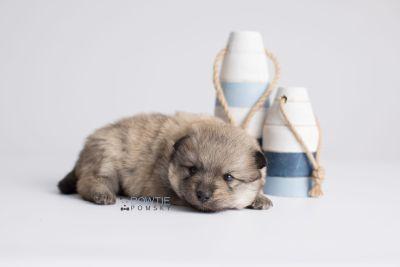 puppy143 week3 BowTiePomsky.com Bowtie Pomsky Puppy For Sale Husky Pomeranian Mini Dog Spokane WA Breeder Blue Eyes Pomskies Celebrity Puppy web3