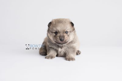 puppy143 week3 BowTiePomsky.com Bowtie Pomsky Puppy For Sale Husky Pomeranian Mini Dog Spokane WA Breeder Blue Eyes Pomskies Celebrity Puppy web6