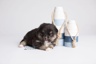 puppy144 week3 BowTiePomsky.com Bowtie Pomsky Puppy For Sale Husky Pomeranian Mini Dog Spokane WA Breeder Blue Eyes Pomskies Celebrity Puppy web3