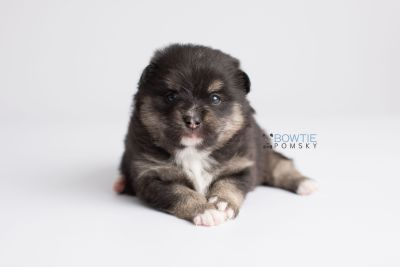puppy144 week3 BowTiePomsky.com Bowtie Pomsky Puppy For Sale Husky Pomeranian Mini Dog Spokane WA Breeder Blue Eyes Pomskies Celebrity Puppy web7